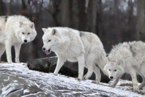 قصص قصيرة فيها حكمة ملهمة وجميلة قصة ثلاثة ذئاب في آلاسكا