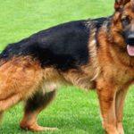 كلاب معلومات رائعة اشهر انواع الكلاب في العالم وأوفي الكلاب وكلاب الصيد