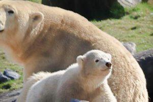 صغير الدب ما هو ؟ معلومات عامة عن الدببة واهم صفاتها ومعلومات شيقة عن صغار الدببة
