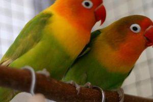 طيور الحب تعرف علي انواعها وسبب تسميتها بهذا الاسم وكيفية تزاوجها
