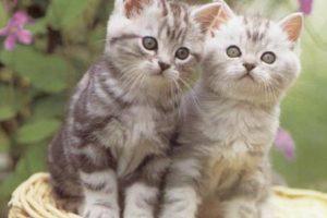 معلومات عن القطط وطريقة تربية القطط الصغيرة وغذائها وعنايتها الصحية وتطعيماتها