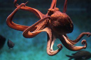 اخطبوط البحر معلومات مشوقة تعرفونها لأول مرة عن هذا الكائن العجيب