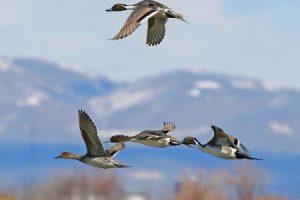 الطيور المهاجرة تعرف علي أنواعها واسباب هجرة الطيور