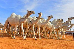 صغير الجمل معلومات ثقافية مفيدة ومتنوعة عن الجمل سفينة الصحراء بقلم آمال مهرية