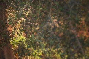شجرة الزيتون معلومات مفيدة عن منشأها واهمية زيت الزيتون واستخداماته