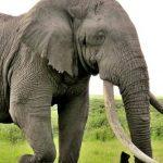 فيل افريقيا اضخم الحيوانات الارضية معلومات مشوقة ومثيرة