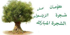 معلومات عن شجرة الزيتون