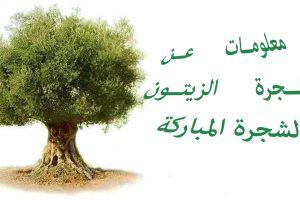معلومات عن شجرة الزيتون وتاريخ العثور عليها