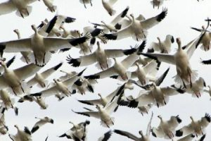 معلومات رائعة عن الطيور المهاجرة تعرف علي اسباب الهجرة وطريقتها