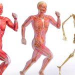 انواع العضلات ووظائفها والحفاظ عليها