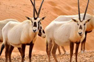 المها العربي وصفاته واسباب انقراضه