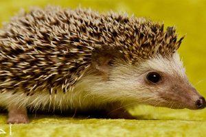 معلومات غريبة عن حيوان القنفذ ..كيف يعيش وماذا يأكل ووسائله المميزة للدفاع عن نفسه