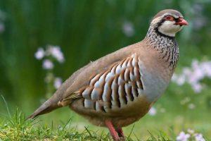 طائر السمان.. أنواعه وفوائد لحومه