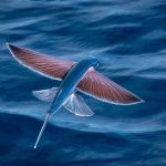 بحث عن الاسماك الطائرة من عجائب خلق الله سبحانه وتعالي
