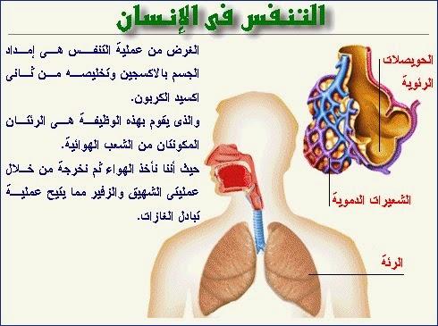 التنفس عند الانسان