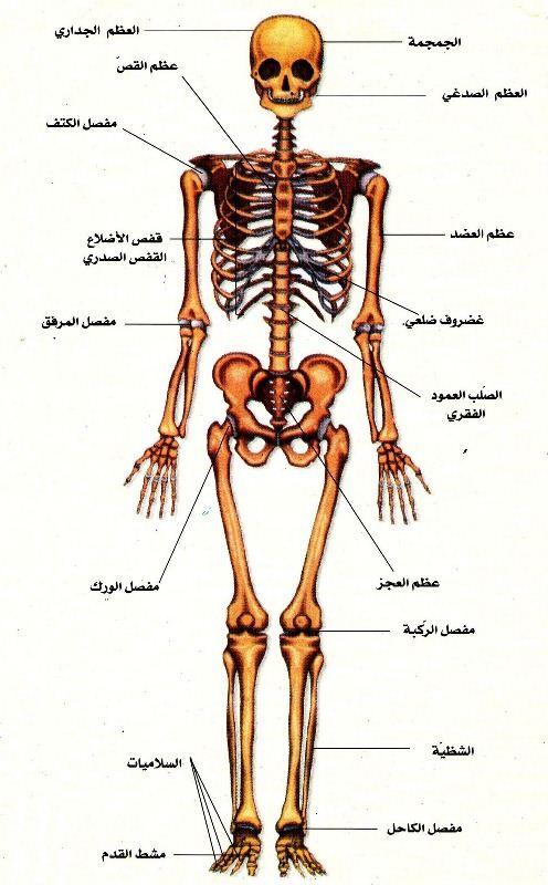 اعضاء الجسم