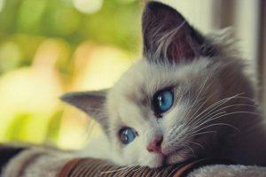 معلومات عامة عن الحيوانات موضوع مميز لعشاق القطط ومحبي تربية القطط بجميع أنواعها
