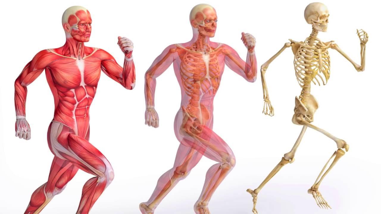 انواع العضلات
