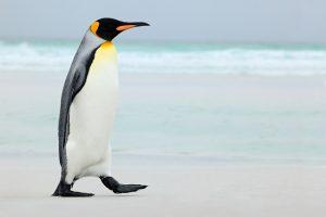 هل تعلم عن الحيوانات بالصور بعنوان طيور لا تطير ! وحيوانات تطير !