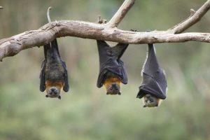 ركن هل تعلم عن الخفاش .. الحيوان الثديي الذي يطير