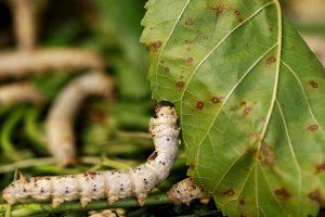 بحث عن معلومات عامة عن دورة حياة دودة القز أو دودة الحرير