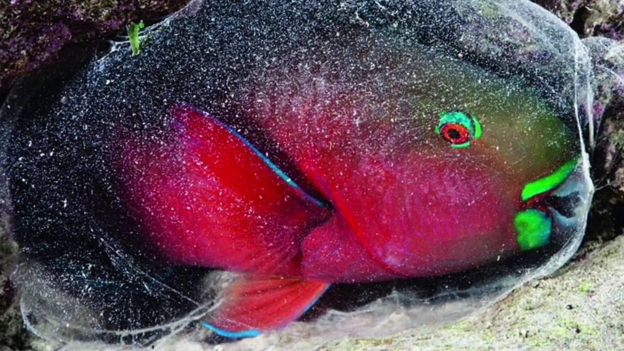 سمكة الببغاء وطريقة نومها العجيبة