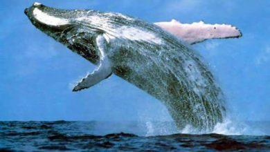 معلومات عن الحوت الازرق