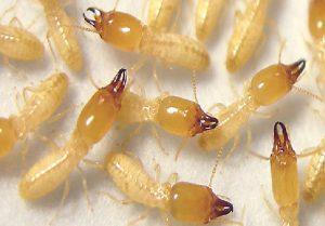 تفسير حلم النمل الابيض