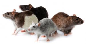 الحلم بالفأر