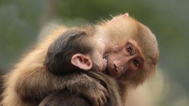 تفسير حلم القرود