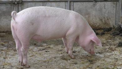 معلومات عن الخنزير