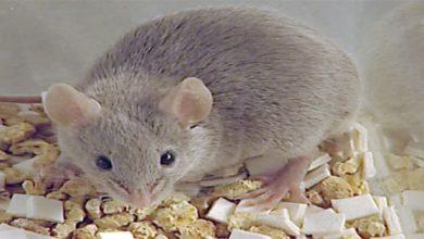 تفسير حلم الفأر الصغير للمتزوجه