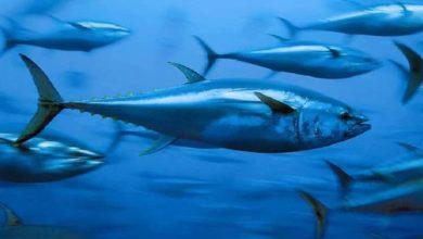 تفسير حلم السمك الحي