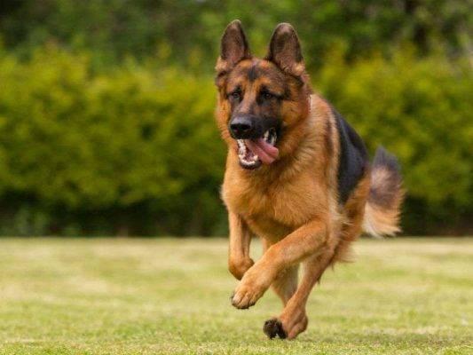 معلومات عن كلاب جيرمن شيبرد ومواصفاتهم الشكلية والعقلية