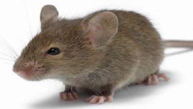 حلم الفأر