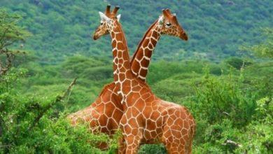 صورة لحيوان الزرافة