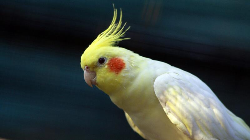 طائر الكوكتيل او طائر الكروان مشهور بصوته الجميل