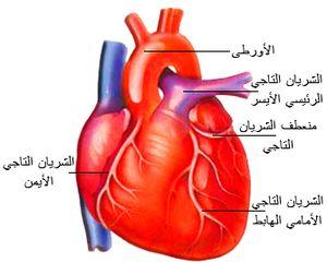 معلومات عن القلب