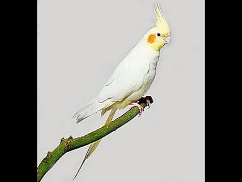 لطائر الكروان العديد من الالوان ولكن اشهرها الابيض و الرمادي