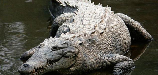 يتميز التمساح بجلده الصلب وبفكيه القويين وسرعته في الهجوم