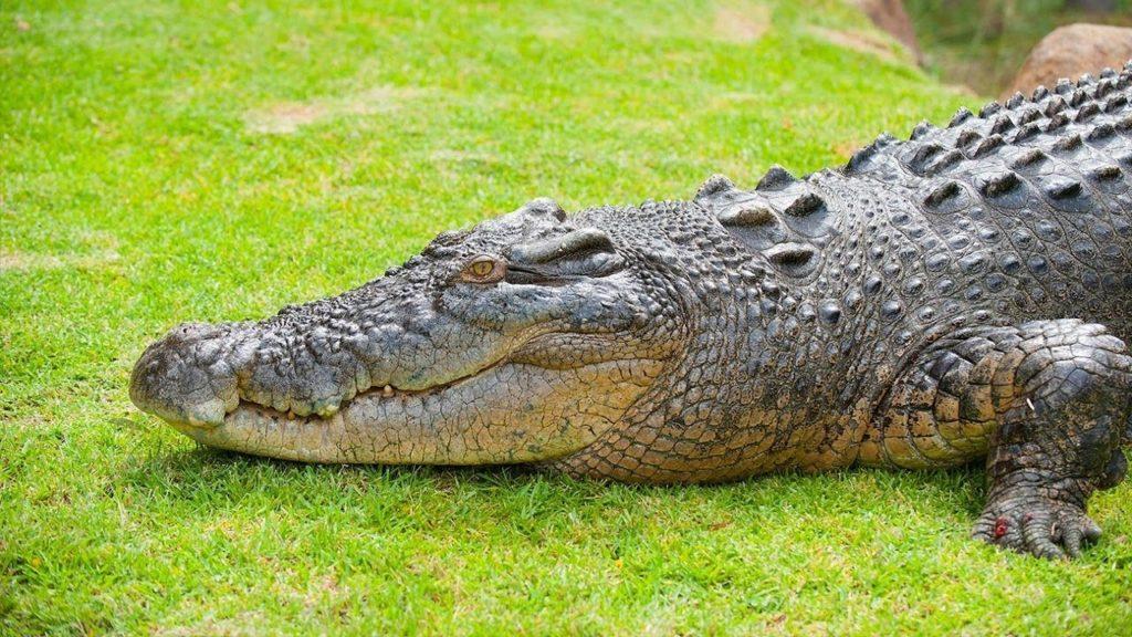 يرتبط التمساح بالديناصور اكثر من ارتباطه بالزواحف