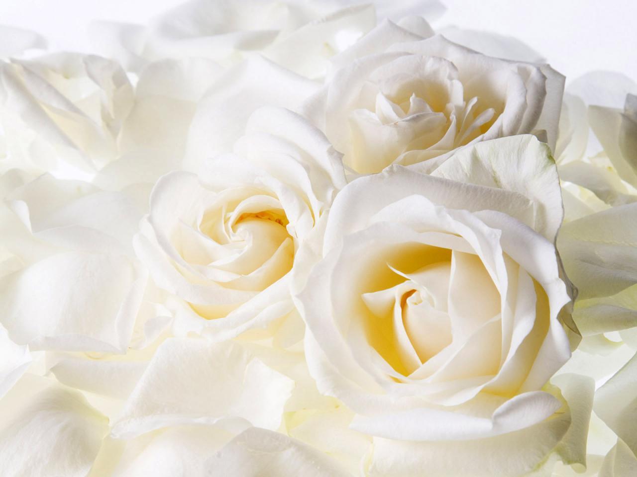 ورد أبيض جميل