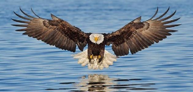 يعتبر النسر من اقوى الطيور الجارحة الآكلة لللحوم