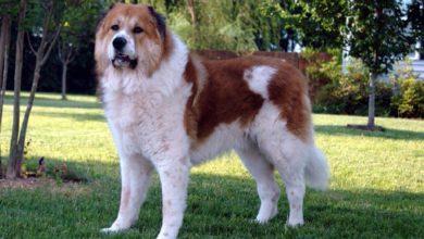 معلومات عن كلاب القوقاز او كلاب الكوكيجن