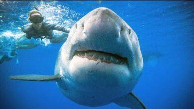 سمك القرش والصياد