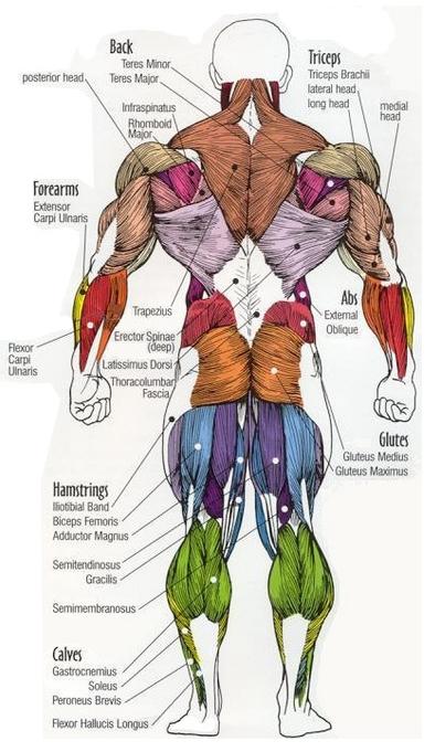 عضلات كمال الأجسام
