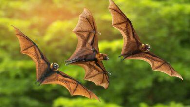 خفاش يطير