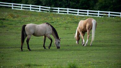 حصان في الحقل