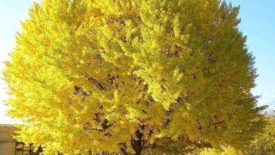 اشجار الميموزا
