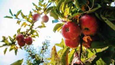 ثمار تفاح